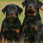 Rottweiler Breeders – Why You Should Choose Your Breeder Carefully