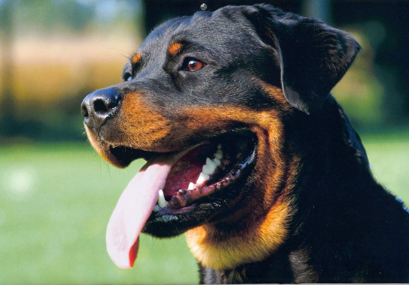 Rottweiler Breed Inormation